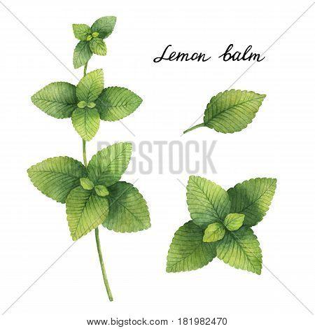 Hand drawn watercolor botanical illustration of Lemon balm. Healing Herbs for design of natural food, kitchen, market, menu.