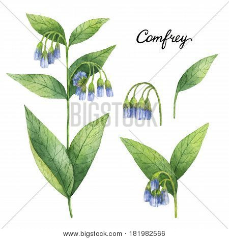 Hand drawn watercolor botanical illustration of Comfrey. Healing Healing Herbs for design of natural food, kitchen, market, menu.