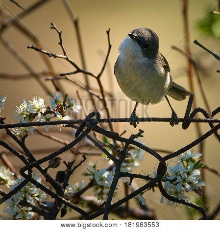 Blackcap Warbler Perched