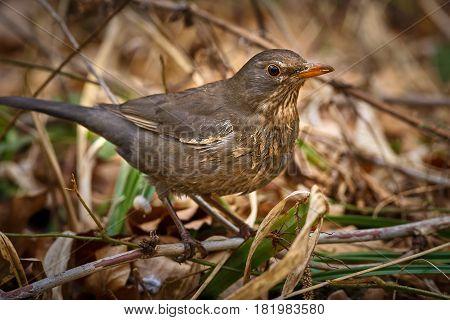 Juvenile Blackbird On The Ground