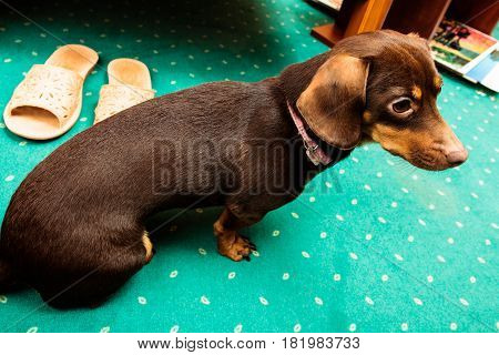Animals at home. Dachshund chihuahua and shih tzu mixed dog sitting on green carpet indoor