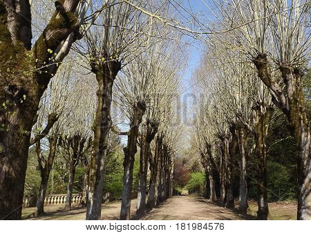 Avenue of pollarded trees in rural central France