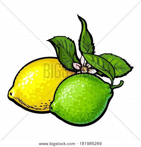 Whole shiny lime and lemon with fresh green leaf and flower, hand drawn sketch style vector illustration on white background. Side view hand drawing of unpeeled lime and lemons with leaves and flower
