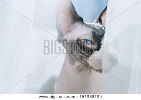 Canadian hairless sphinx cat sits near a window and basks in the sunshine. Eyes are half closed of pleasure. Happy pet rests on a sun. White curtains at the background