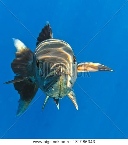 Big Barracuda in The Indian Ocean Maldives