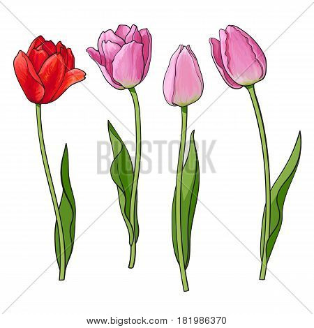 Hand drawn set of side view red, pink open and closed tulip flower, sketch style vector illustration isolated on white background. Realistic hand drawing of tulip flowers, decoration element