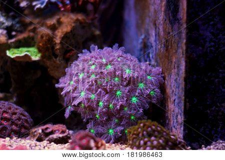 Clavularia Glove Polyps in Coral Reef Aquarium