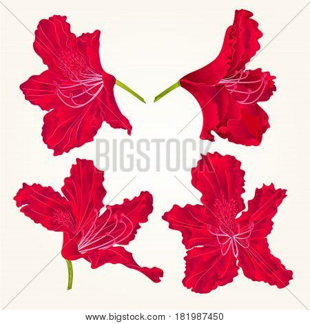 Blossoms red rhododendrons red set two mountain shrub vintage vector illustration
