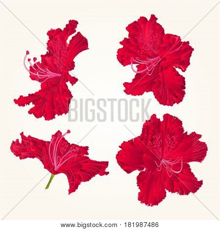 Blossoms red rhododendrons red set three mountain shrub vintage vector illustration