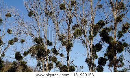 Mistletoe in poplar trees in rural France