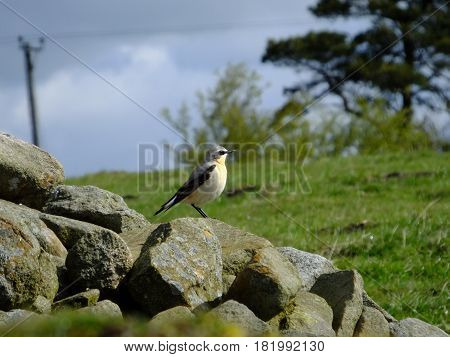Colorful male wheatear as seen during the breeding season on the UK uplands