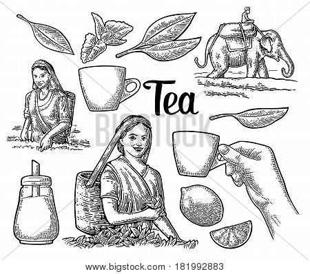 Female tea pickers harvesting leaves, rider on elephant, lemon and cup. Vector engraved vintage isolated illustration for label, poster, web. Black on white background.
