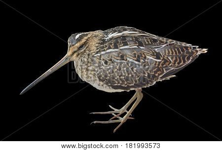 A close up of the snipe (Gallinago hardwickii). Isolated on black.