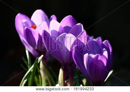 Three large violet flowers of crocuses are located on a diagonal on a black background.