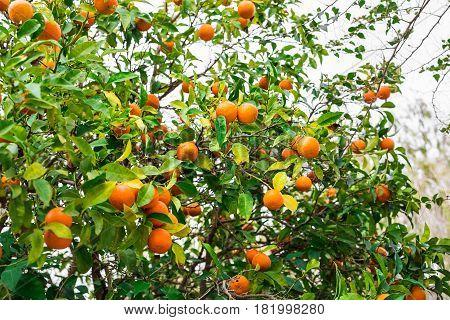 orange trees plantations. The fruit of the orange tree. branch orange tree fruits green leaves