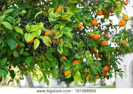 The fruit of the orange tree. branch orange tree fruits green leaves