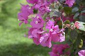 Lesser bougainvillea Bougainvillea glabra , blooms in the garden. Beautiful flower background. poster