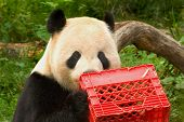 giant panda with milk crate at national zoo in washington ** Note: Slight blurriness, best at smaller sizes ** Note: Slight graininess, best at smaller sizes poster