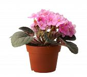 beatiful flower in pot on white background poster