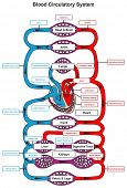 Blood Circulatory System of human body infographic diagram with heart pumping to all other organs and major arteries veins showing anatomical mechanism of circulation for anatomy science education poster