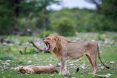 Male Lion doing a flehmen grimace in the Etosha National Park Nambia. poster
