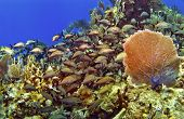 A school of French Grunts and a Sea Fan in Cayman Brac poster