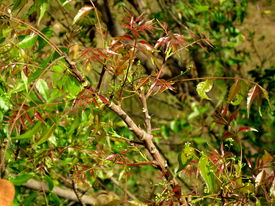 TWIGS WITH NEW LEAVES