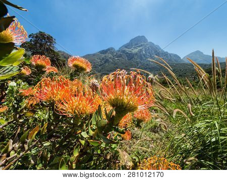 Red Protea in Kirstenbosch, Cape Town against the backdrop of Table mountain, South Africa. Pincushion flower in Kirstenbosch Botanic Gardens, Cape Town, South Africa poster