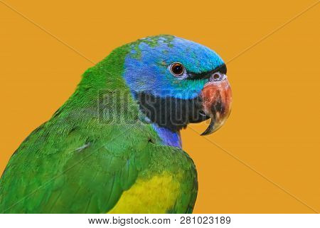 Lord Derbys Parakeet Over The Yellow Background