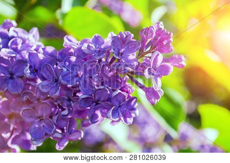 Lilac flowers in sunny springtime garden, spring flower background. Selective focus at the lilac flowers, free space. Closeup of blooming lilac flowes