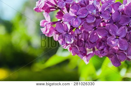 Spring pink lilac flowers, spring floral background with blooming lilac flowers in the spring garden. Selective focus at the central lilac flowers