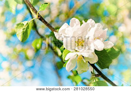 Spring sunny background with flowers of blooming spring apple tree under sunlight, focus at the central spring flowers