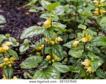 Lamium galeobdolon or yellow archangel flowering plant. Weasel-snout wildflower in the spring forest. poster