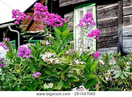 Phlox Paniculata In A Blockhouse Garden In The Spreewald Biosphere Reserve, Moorland And Fairytale I