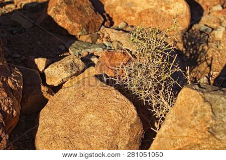 poster of Alhagi olso called camelthorns or manna trees. It is a genus of Old World plants in the family Fabaceae. The small plant between stones. Mount Sinai (Mount Horeb, Gabal Musa).Sinai Peninsula of Egypt.