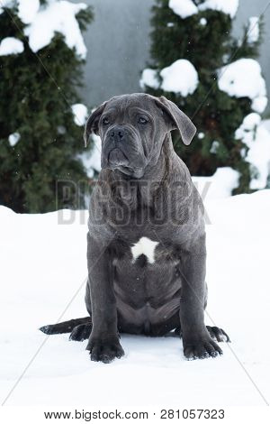 Sitting Cane Corso Portrait Dog Puppy Gray