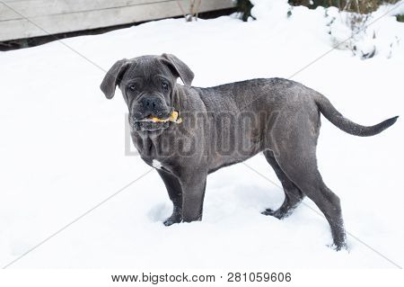 Playing Cane Corso Puppy With Toy Winter Outdoor Running
