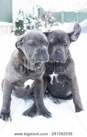 Two Cute Cane Corso Six Month Puppies
