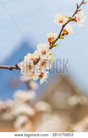 Flowering Branch Of Apricot Against The Background Of The Reflection Of The Sky, The House And The S