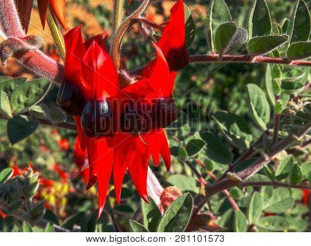 Close Up Shot Of A Bright Red Sturt's Desert Pea