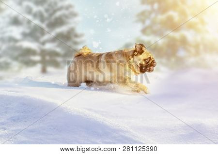 Pug Dog Runs And Plays In The Winter Forest On A Sunny Frosty Day. Fabulous Picture For Postcards