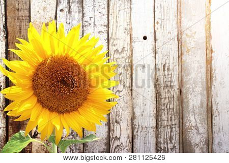 Sunflower and rustic wooden fence. Mock up template. Copy space for text