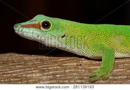 Phelsuma Gecko (Phelsuma madagascariensis)in natural habitat on tree. Amber Mountain, Madagascar wildlife and wilderness poster