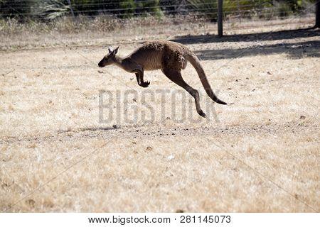 The Western Grey Kangaroos Is Bounding Across A Paddock On Kangaroo Island, Australia