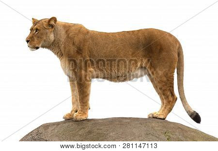 Lioness standing on a rock, watching her surroundings poster