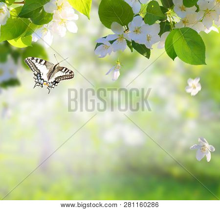 Apple tree blossoms with green leaves Spring flowers  and a flying butterfly. Green nature blurred background.