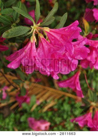 Pinkster Flower, Pink Azalea