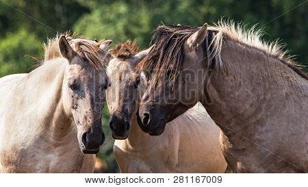 Tarpans Horses (equus Ferus Ferus). Endangered Wild Horses