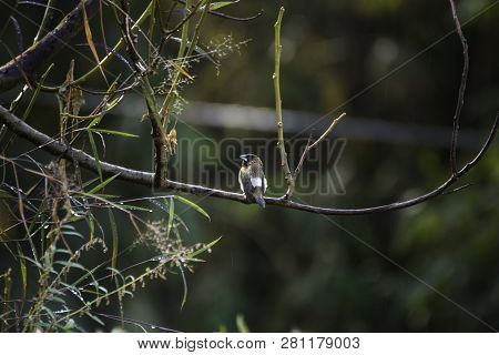 The Bronze Mannikin Or Bronze Munia Is A Small Passerine Bird Of The Afrotropics. This Very Social E