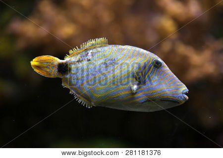 Orange-lined triggerfish (Balistapus undulatus). Tropical fish.